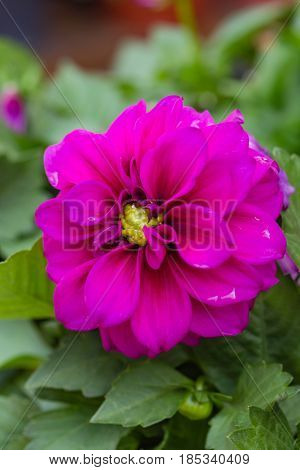 Portrait layout closeup of beautiful raspberry red dahlia flower