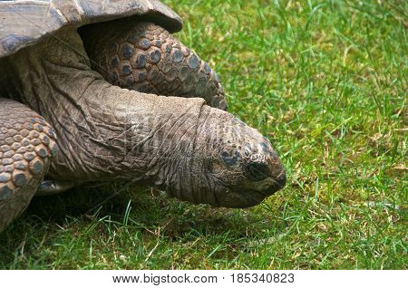 The Aldabra giant tortoise (Aldabrachelys gigantea) eating grass. It lives on the Aldabra atol in the Seychelles and is one of the largest tortoise in the world.