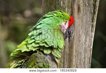 Animal portrait. Military macaw (Ara militaris) looking to the right.
