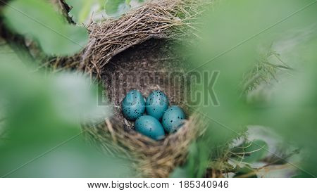 Close-up Of Blue Bird Eggs In The Nest. The Eggs Of The Chaffinch Nest In A Tree.