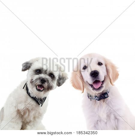two curious puppies looking at the camera isolated on white background. small labrador retriever and bichon dogs standing togehter