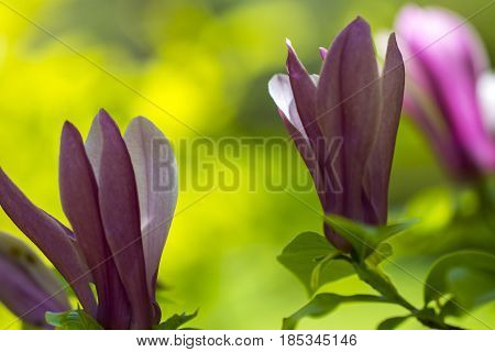 Close-up View Of Purple Blooming Magnolia. Beautiful Spring Bloom For Magnolia Tulip Trees Pink Flow