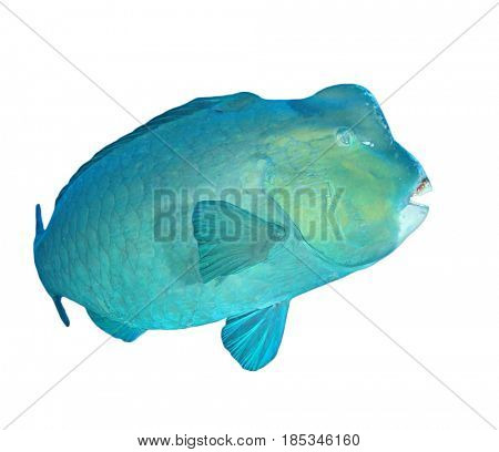 Bumphead Parrotfish fish isolated on white background