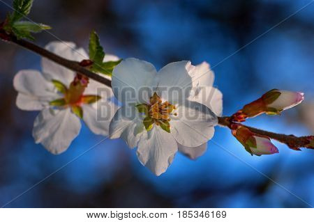 Spring bloom, apple tree flower close-up with soft background