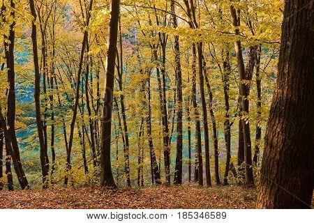 landscape golden autumn in the deciduous forest