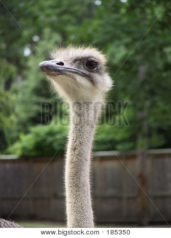 Ostrich Looking At You