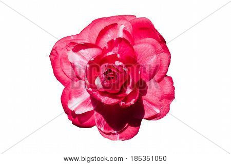 flower pink-white curvy Camellia on white background