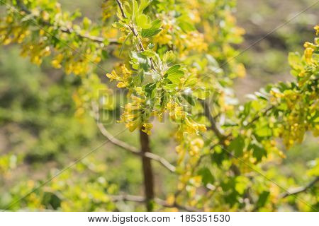 Blossoming of blackcurrant or Ribes nigrum with yellow flowers