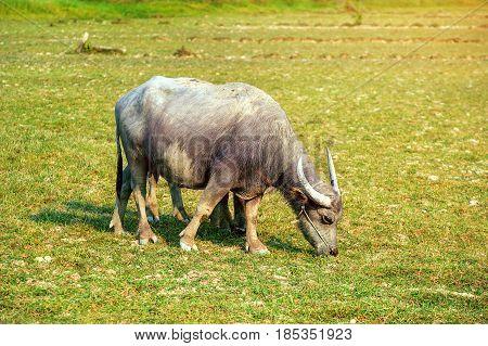 Buffalo In The Field.