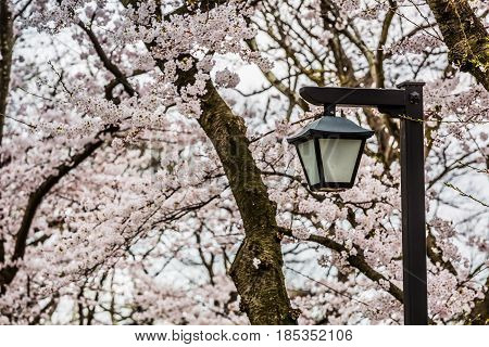 lamppost and beautiful sakura blossom tree. Spring wallpaper.