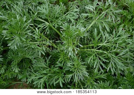 Bitter wormwood grows in rainy weather on sandy grounds.