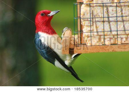 Beautiful Red-Headed Woodpecker on Bird Feeder