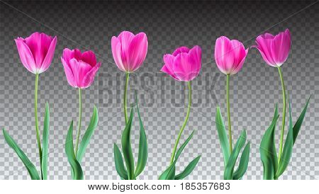 Tulips. Color vector tulips isolated on transparent background. Flowers in different shapes for your design and greetings, postcards card for your loved ones.