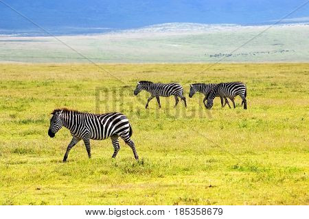 Zebras in the Ngorongoro Crater. Africa. Tanzania.