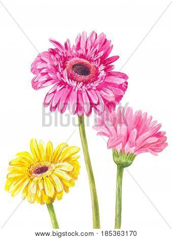 Three different colored gerberas isolated on white background. Watercolor illustration