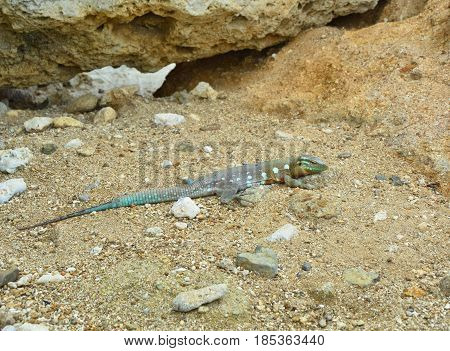 The whiptail blue lizard Cnemidophorus murinus living in Curacao