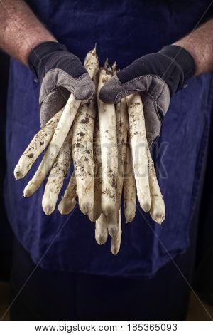 Fresh white Asparagus as close-up in hands of a farmer hand