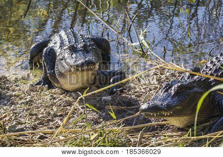 Alligators in wet lands, Everglades National Park, Florida