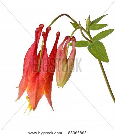 Stem with a single nodding red and yellow flower of wild (eastern red or Canadian) columbine (Aquilegia canadensis) and developing bud isolated against a white background