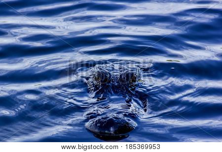 American Alligator swimming in the murky water