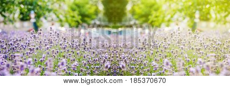 Wide view over beautiful lavender seen in the city with defocused urban environemnt in the background