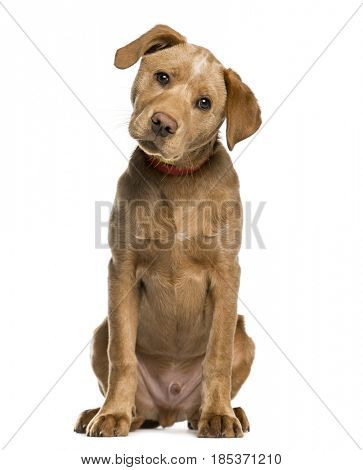 Labrador Retriever puppy looking at the camera, isolated on white