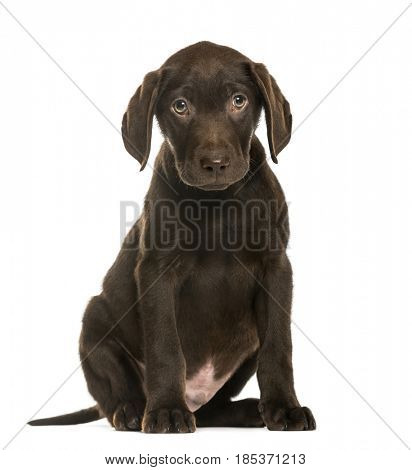 Labrador Retriever puppy sitting,3 months old, isolated on white