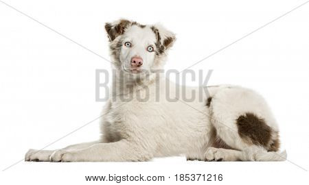 Border Collie puppy lying, 4 months old, isolated on white