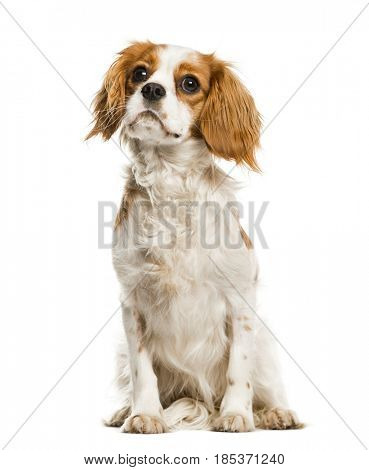 Cavalier King Charles Spaniel looking up, isolated on white