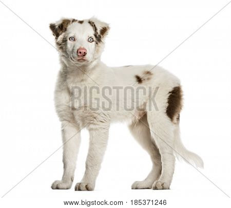 Border Collie puppy standing, 4 months old, isolated on white