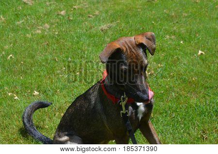 Dark colored Arubian cunucu dog licking his nose.