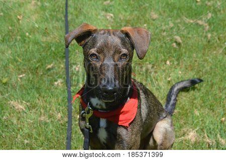 Lovely Aruban cunucu dog sitting in a grassy field.