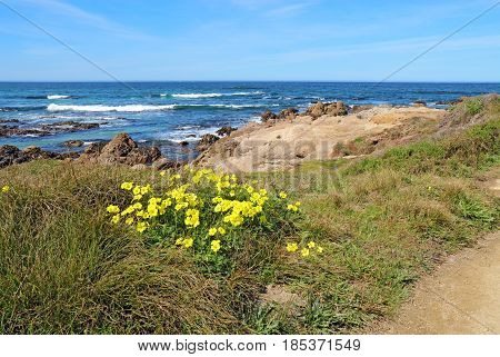 Early spring yellow flowers of the escaped weed Bermuda buttercup (Oxalis pes-caprae) at Asilomar State Beach on the Monterey Peninsula in Pacific Grove California