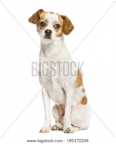 Mixed breeded dog sitting, isolated on white