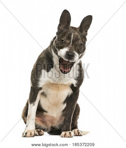 Mixed breed dog barking, isolated on white