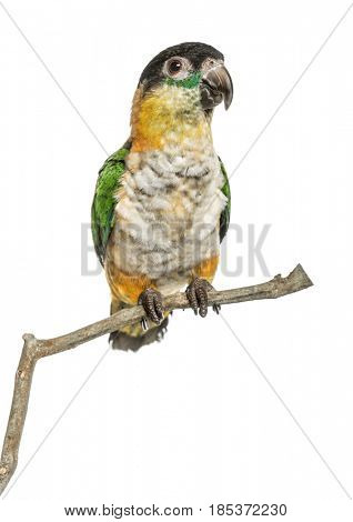 Black-capped parrot perched on a branch , isolated on white