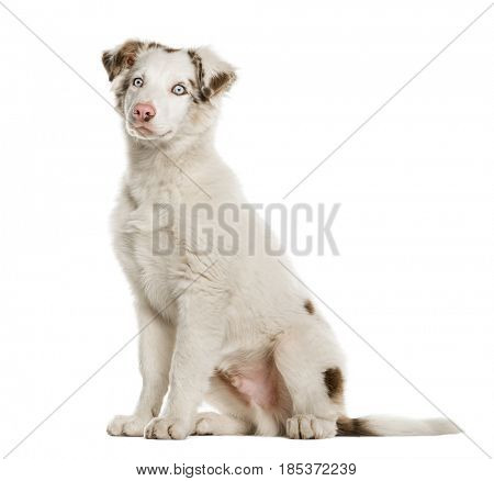 Border Collie puppy sitting, 4 months old, isolated on white