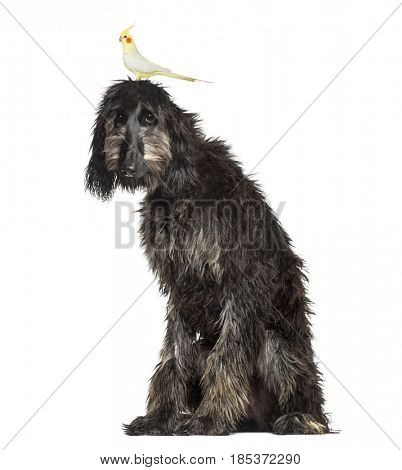 Bird on the head of an Afghan Hound, isolated on white