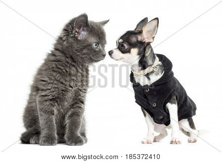 Cat and chihuahua dressed looking at each other, isolated on white
