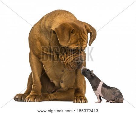 Dogue de Bordeaux, looking down at a hairless guinea pig, isolated on white