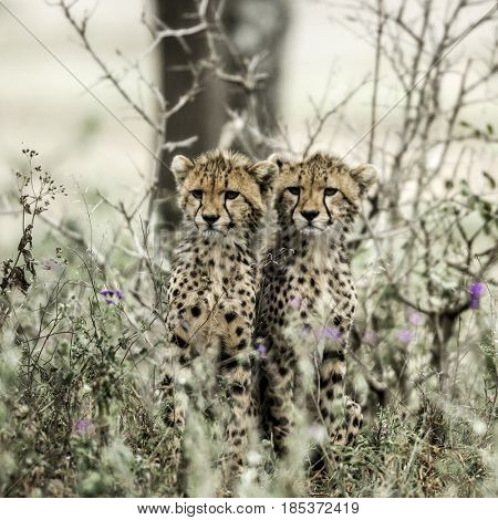 Cub cheetahs in Serengeti National Park