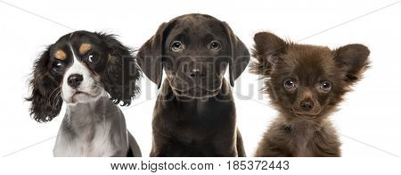 Close-up of puppies, isolated on white
