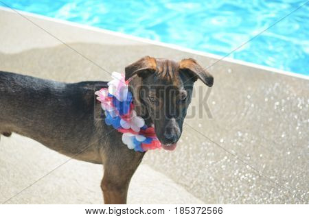 Sweet pet island dog with a patriotic lei.