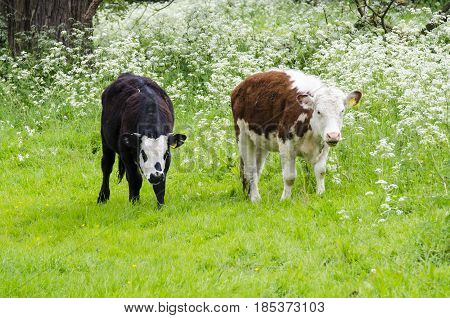 Two young calf eating grass in a field. The whole herd is left to graze in a large park.