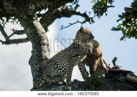 Leopard eating antelope on a tree  in Serengeti National Park