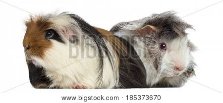 Peruvian Guinea Pig and Guinea Pig isolated on white