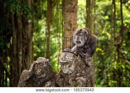 large adult catarrhini the Old world sitting on the stone figure of a monkey in a tropical forest tropical forest. The horizontal frame.
