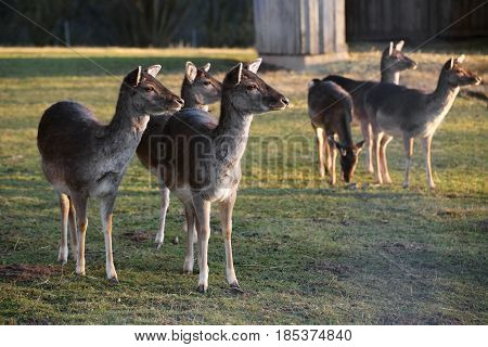 Herd Of European Roe Deer (capreolus Capreolus)