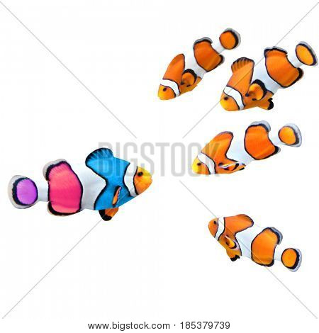 Concept - to be yourself, to be unique. A flock of standard clownfish and one colorful fish. Isolated on white background