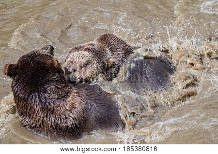 Brown bear couple cuddling in water. A couple of brown bears are teasing in the water. Swallow bears. Close-up view of the bears in the lake. Portrait of a brown bear.